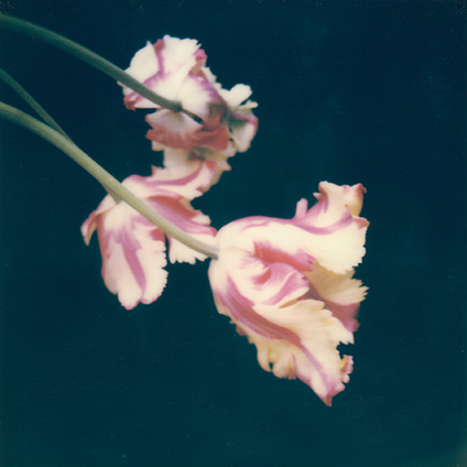 Polaroid SX-70 tulipes
